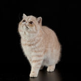 Exotic Persian cat on black background animal Stock Photos