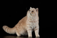 Exotic Persian cat on black background domestic animal Stock Image