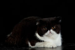 Exotic Persian cat on black background Royalty Free Stock Photo