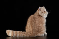 Exotic Persian cat on black background Stock Photography