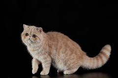 Exotic Persian cat on black background pet Royalty Free Stock Photography