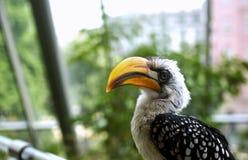 Exotic pet. Bird, southern yellow-billed Hornbill (Tockus leucomelas) aka toko bird Royalty Free Stock Photos