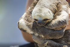 Exotic pet, a Pale-throated Sloth (Bradypus tridactylus) Stock Photos