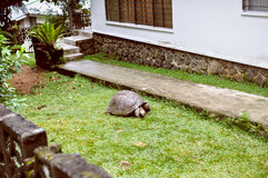 Exotic pet: а Seyshelles gigantic turtle in  the courtyard Stock Photos
