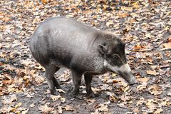 Exotic Pig From Jungle (Sus Cebifrons) Stock Image
