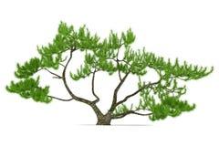 Exotic pine tree Stock Photography
