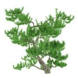 Exotic pine tree Royalty Free Stock Photo