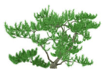 Exotic pine tree Royalty Free Stock Image