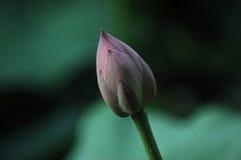 Exotic pink lotus Royalty Free Stock Photo
