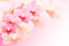 Exotic pink orchid flowers on blurred background Royalty Free Stock Photography