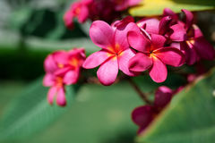 Exotic pink plumeria flowers on the tree in park Royalty Free Stock Photos