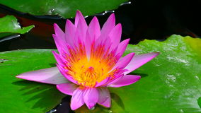 Exotic pink water lily. Beautiful full open pink water lily resting on floating leaves in a pond stock video footage