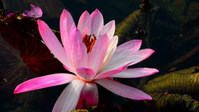 Exotic pink water lily stock video