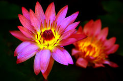 Exotic pink water lily Stock Photography