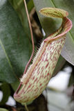 Exotic Pitcher Plant Royalty Free Stock Photo