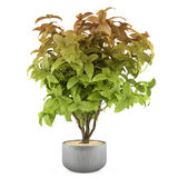 Exotic plant bush in the metal pot Royalty Free Stock Photo