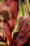 Exotic plant leaves. Exotic red and green striped plant in a university horticultural garden Royalty Free Stock Images
