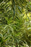Tropical Tree, Dracaena reflexa also known as pleomele or song of India species of Dracaena. Exotic plant with yellow and green striped leaves stock images