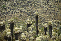 Exotic plants of the Andes. Exotic highland frailejones forest of the Ecuadorian Andes Stock Photo