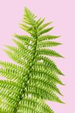 Exotic plants background, green fern on pink. Retro exotic plant background on pink, green fern on pink Royalty Free Stock Image