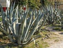 Exotic plants. cactus park. Stock Images