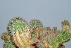 Cactus close-up texture Royalty Free Stock Photo
