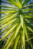 Exotic plants,green yucca leaves. Exotic plants, green yucca leaves n the greenhouse in the sunshine Royalty Free Stock Photography
