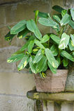 Exotic potted ctenanthe indoor plant stock illustration