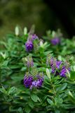 Exotic Purple Cluster Flowers. On stems, bokeh forest background, botanical garden Royalty Free Stock Images