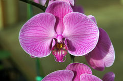 Exotic purple orchids, Royalty Free Stock Photography