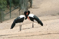 Exotic red-billed storks. A pair of exotic red-billed (also known as saddle-billed) storks Royalty Free Stock Photo