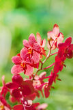 Exotic red orchids Stock Photo