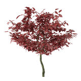 Exotic red tree with big leaves Stock Photo