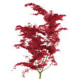 Exotic red tree with big leaves Stock Image