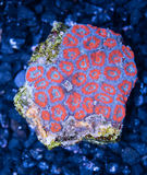 Exotic reef red and blue  Acan Brain Coral indopacific Royalty Free Stock Image