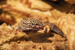 Exotic reptile eublepharis animal spotted on the rocks Stock Images