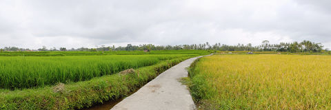Exotic rice terrace in Bali (panorama) Royalty Free Stock Image