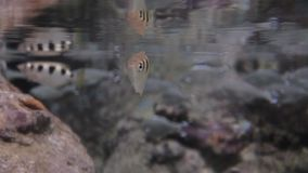 Exotic saltwater fish swimming in a big aquarium stock video footage