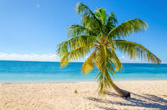 Exotic sandy beach with palm and coconut Royalty Free Stock Image