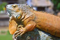 Exotic saurian. Orange Exotic saurian Royalty Free Stock Photography