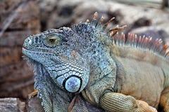 Exotic scaly iguana Stock Images