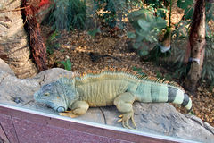 Exotic scaly iguana. Large herbivorous lizard family iguanidae with scales and needles Royalty Free Stock Photography