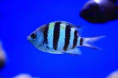 Exotic sea fish Royalty Free Stock Photo