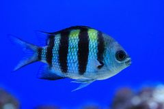 exotic sea fish Royalty Free Stock Photography