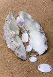 The exotic sea shell Royalty Free Stock Image