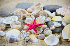 The exotic sea shell . Royalty Free Stock Photo