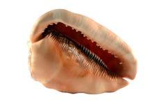Exotic sea shell isolated on white background Stock Photos