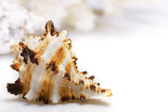 Exotic seashell Stock Photography