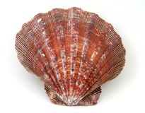 Exotic Seashell. On white background with embedded clipping path Royalty Free Stock Images