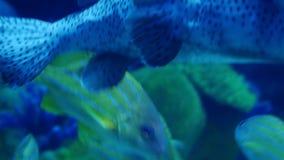 Exotic see fish in an aquarium. Underwater Scene. Beautiful exotic see fish in an aquarium stock video footage